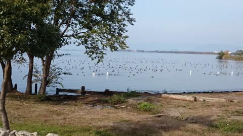 琵琶湖には、カモや白鳥がいっぱい!